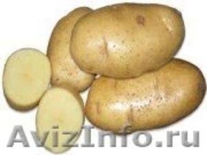 продам семенной картофель из Белоруссии в Нальчике - Изображение #1, Объявление #1315247