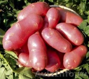 продам семенной картофель из Белоруссии в Нальчике - Изображение #2, Объявление #1315247