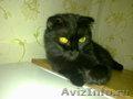 продам котят британских вислоухих 10месяцев